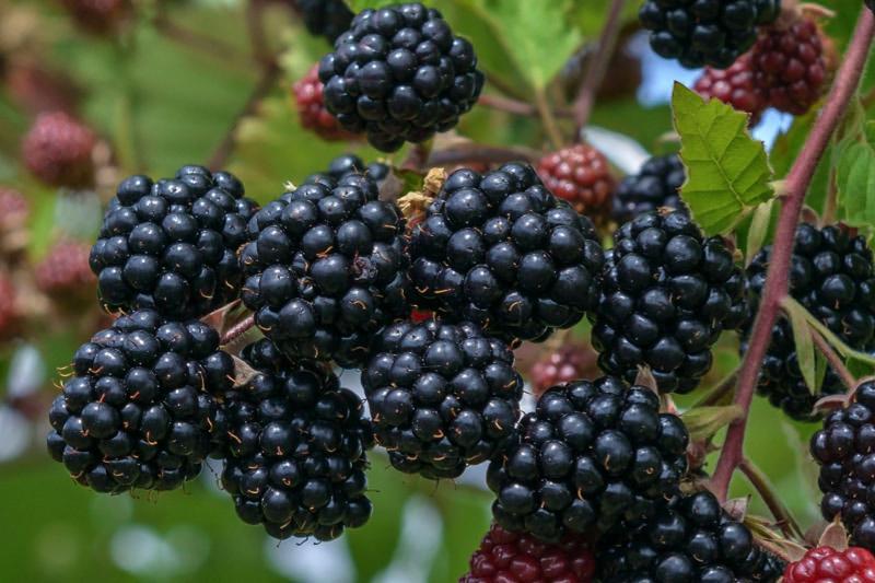 Image result for Blackberry fruit